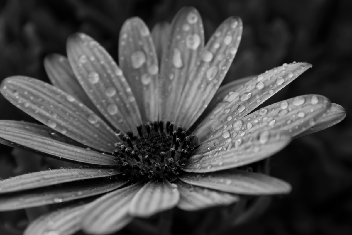 black white flower rain